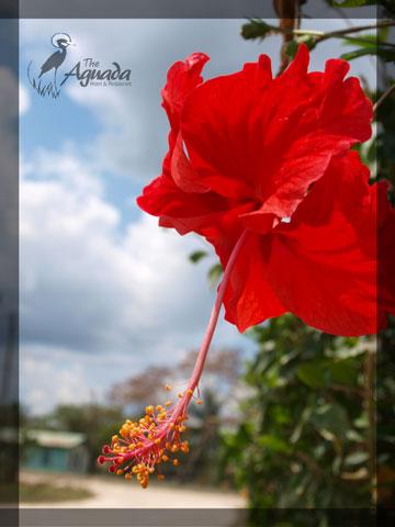 Hibiscus Flower Belize